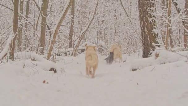 Bílí psi plemene Zlatý retrívr v zimním pohádkovém pralese. Padá sníh..