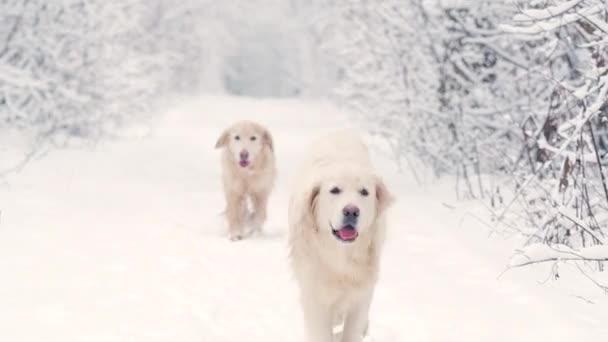 Weiße Hunde des Golden Retrievers brüten im Wintermärchenwald. der Schnee fällt.