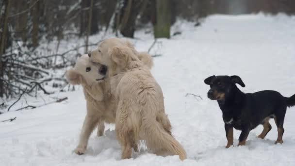 Tři psi (zlatý retrívr a jezevčík) si hrají a bojují v zimním lese. Zpomalený pohyb.