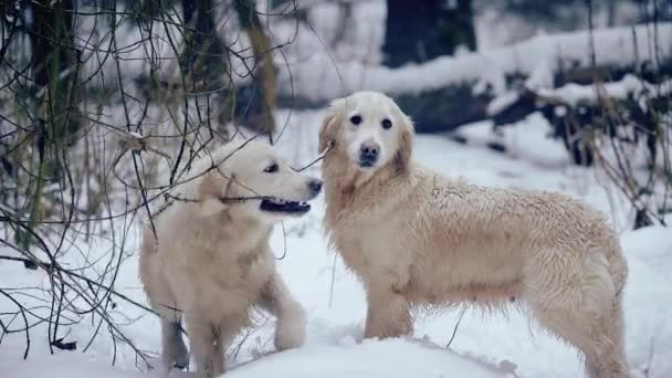 Two dogs (golden retriever) play and fight in the winter forest. Slow motion.
