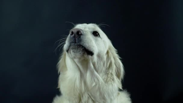 Hlava retrívra na černém pozadí zblízka. Bílý pes si olizuje rty a čeká na jídlo.