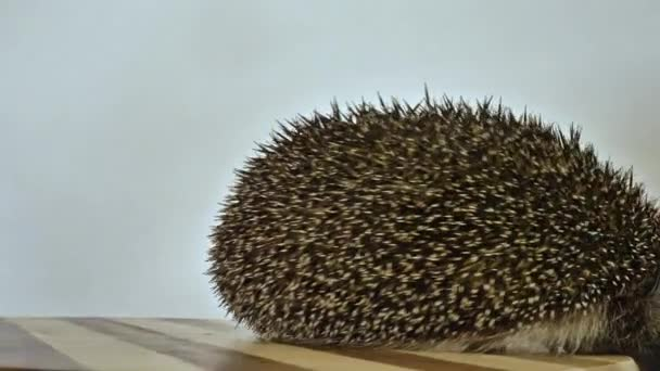 A hedgehog spinning on a toy carousel. Like a squirrel in a wheel.
