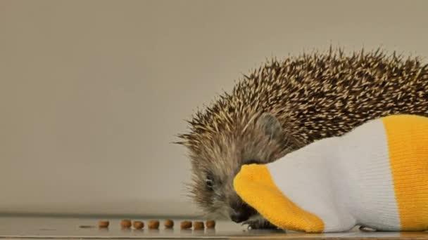 A kis sündisznó otthon játékokkal játszik. Horkol, harcol, harapdál..