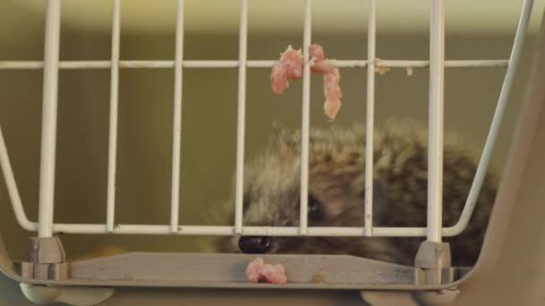 Egy kis sündisznó ül egy ketrecben. A rácsokon keresztül kapja az ételt..