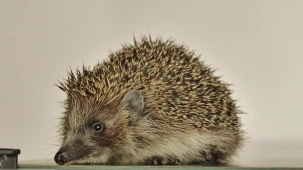 A small hedgehog runs around the table on a white background in search of an exit. Allegory.