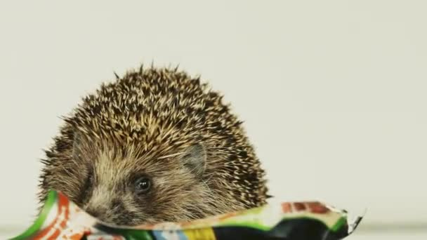 Little hedgehog playing with toys at home. Snorts, fights, nibbles.