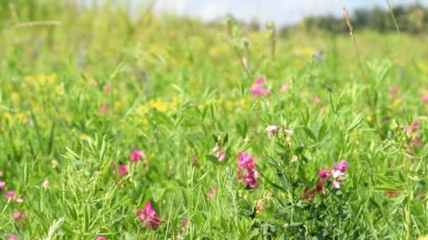 Zöld rét, vadvirágok