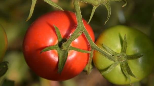 Pěstování červených a zelených rajčat