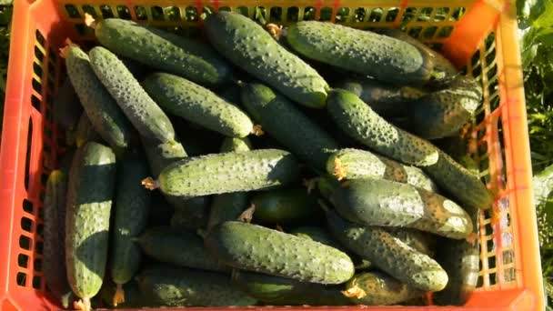 Woman farmer having rich harvest of cucumbers