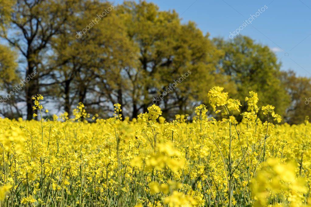 Blooming raps field