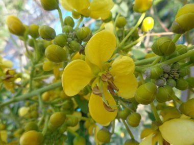 Siamese senna (yellow jowar) flower with natural background