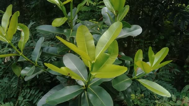 Calophyllum inophyllum with natural background