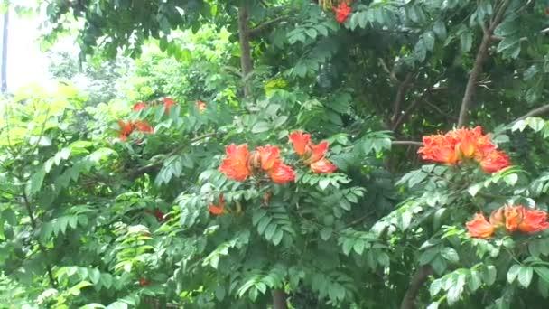 Spathodea campanulata (Kiacret, African tulip, fountain tree, pichkari, Nandi flame, Worlds Worst invaders, Nile flame, squirt tree, tulip tree, Uganda flame, Flame of Thika) with natural background