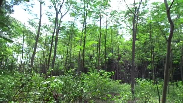 Albizia chinensis (Seidenbaum, Chinese albizia, kool, khang hung, kang luang, cham, sengon) Baum mit natürlichem Hintergrund