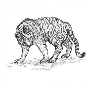 tiger black and white vector illustration.