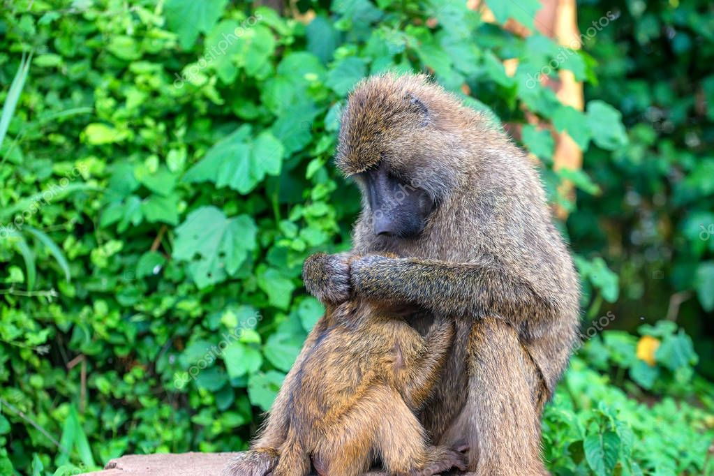 Female of olive baboon during breastfeeding