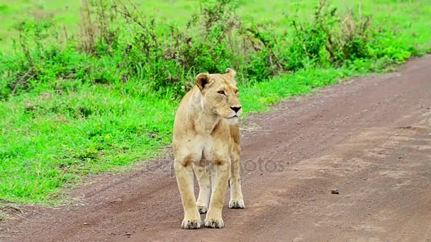 Lioness Or Panthera Leo On The Road Stock Video Yakovoskanov