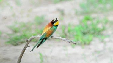 European bee-eater or Merops apiaster