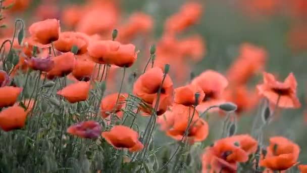 Louka s divoké máky kvetou