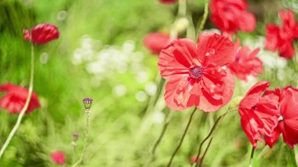 Bloom wild Pipacsos rét