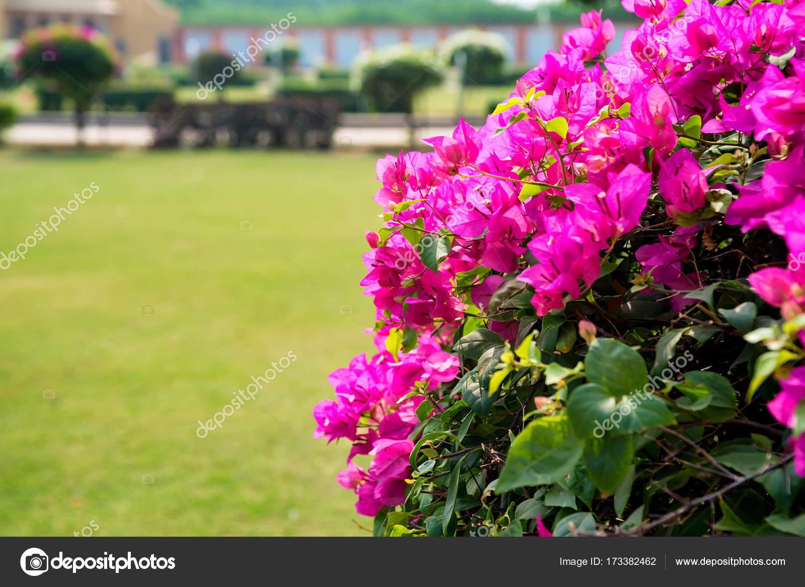 fleur de bougainvillier rose — photographie yakov_oskanov © #173382462