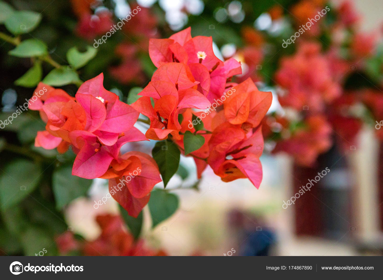 fleur de bougainvillier rose — photographie yakov_oskanov © #174867890