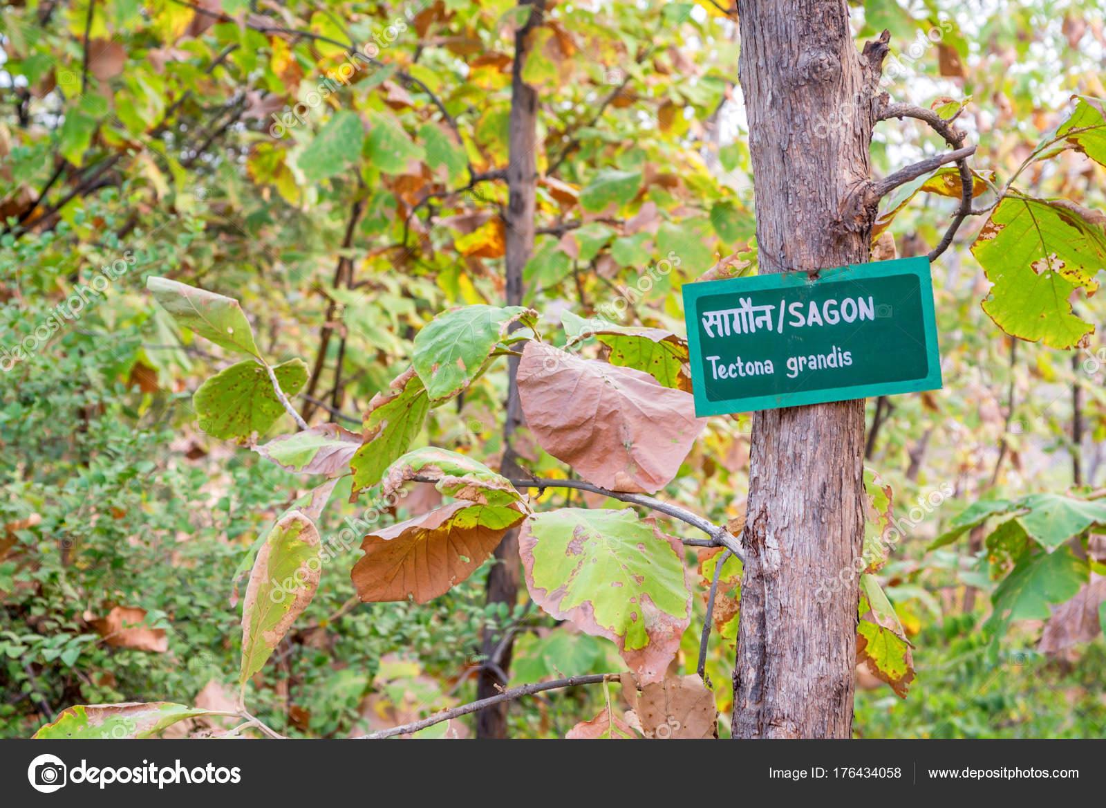 Teakbaum  Teak-Baum oder Tectona Grandis im arboretum — Stockfoto ...