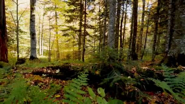 Beautiful autumn forest shot with dolly