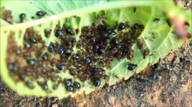 Aphids (Plant lice) on a cherry tree leaf