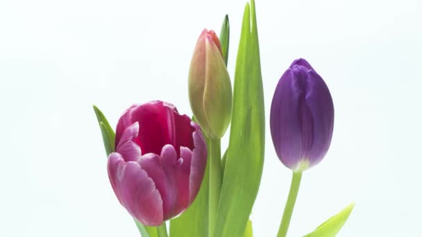 Krásné tulipány kvetoucí - časová prodleva