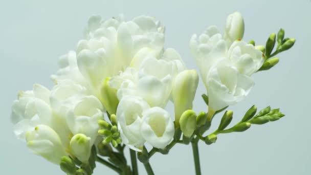 Krásný fraesia květy bloomimg - časová prodleva