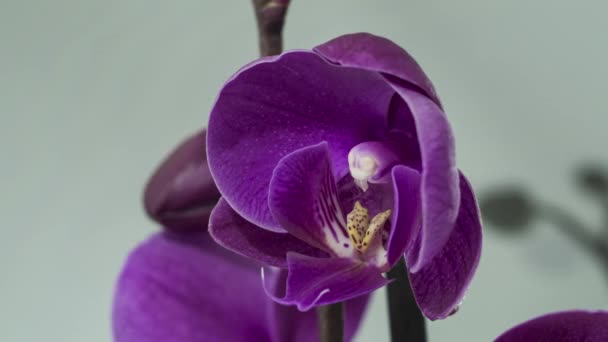 Orchid flower blooming - time lapse