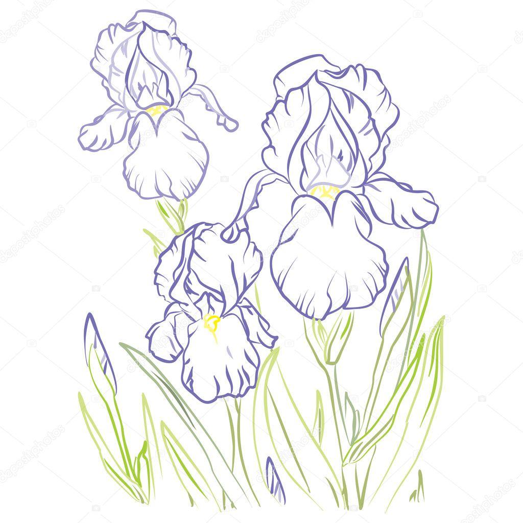 Drawing Iris Flower Stock Vector C Yasnogoran 127336030