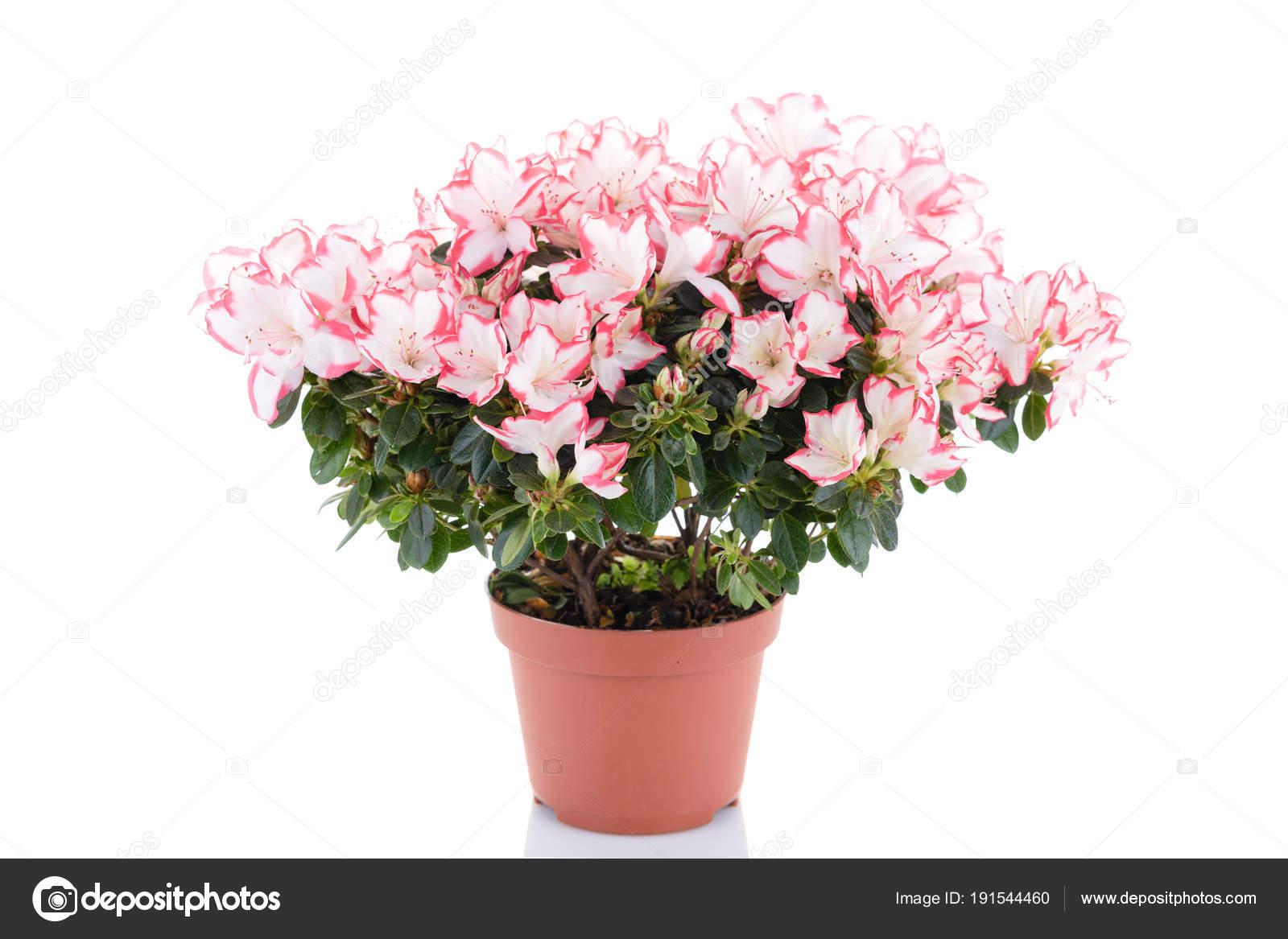 Vegetazione Rigogliosa Fioritura Dellu0027azalea In Vaso Di Fiore Isolato Su  Priorità Bassa Bianca. Rododendro Rosa E Bianco. Negozio Di Fiori E Cura  Per ...