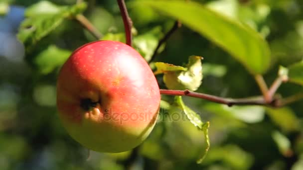 Fresh red apples on a branch in the garden