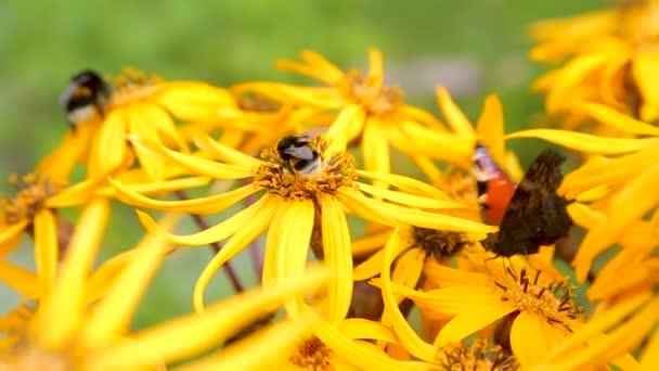 Motýli na žluté pozdní letní květiny