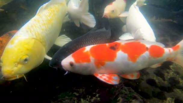 Kapr Koi ryb v rybníku