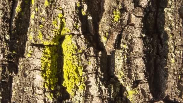 Részlet a lógesztenye kéreg borított zöld moha, egy növény egy évszázados park.