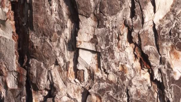 Detail koňské kaštanové kůry, která časem erodovala, rostliny ve staletí starém parku.