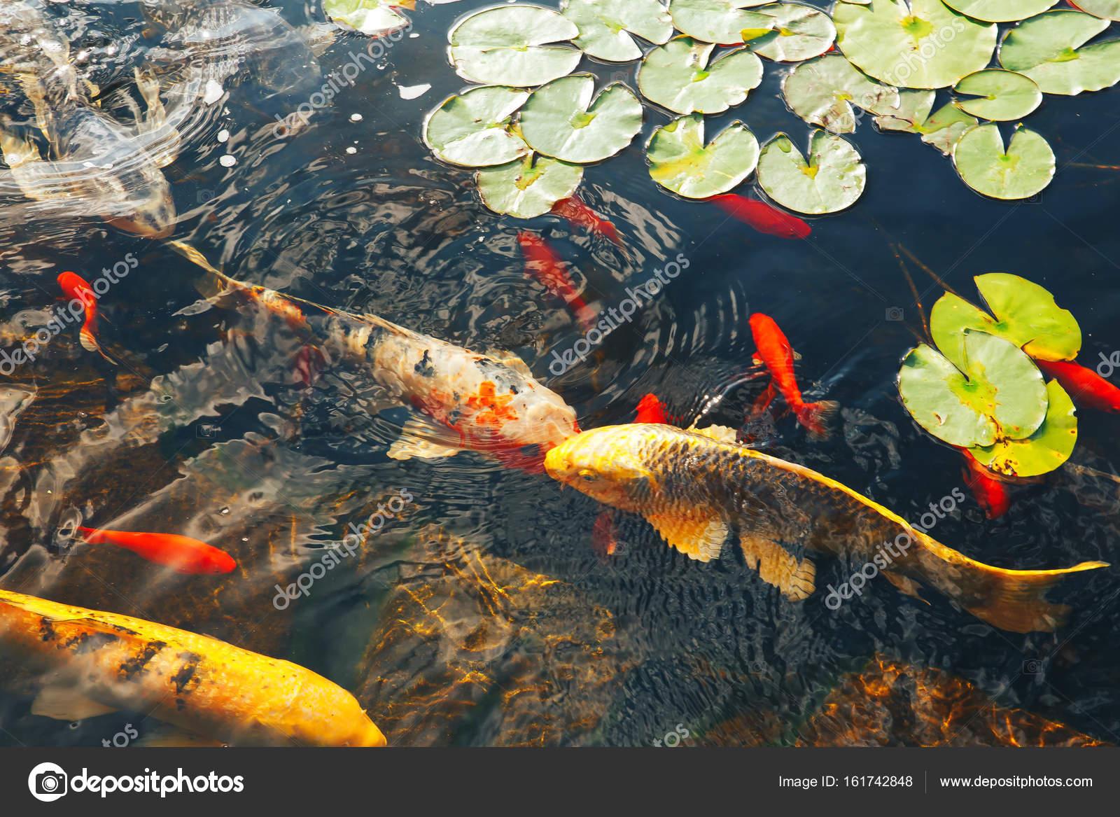 Flotan los peces decorativos coloridos en un estanque artificial