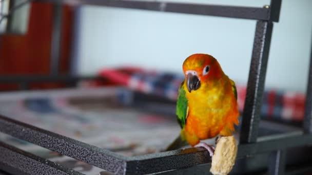 krásné barevné slunce conure divoké papouška jíst cookie