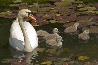 Swan stroll on a lake