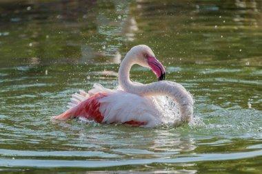 Caribbean Pink Flamingo Splashing in a Lake