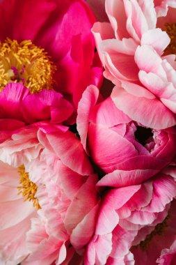 Pink peonies, peony roses flowers