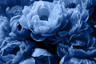 Peonies, peony roses flowers, beautiful floral background