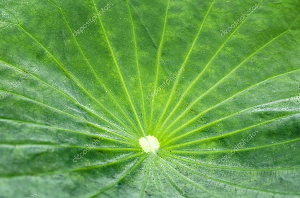 texture of lotus leaf