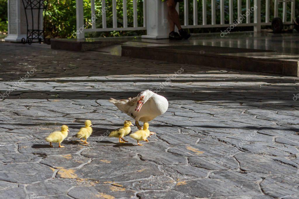 Family of ducks grey