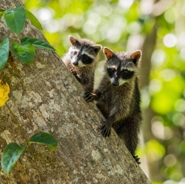 Two young raccoons on tree trunk.