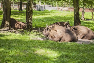 herd of bison lying on the grass in the Bialowieza National Park