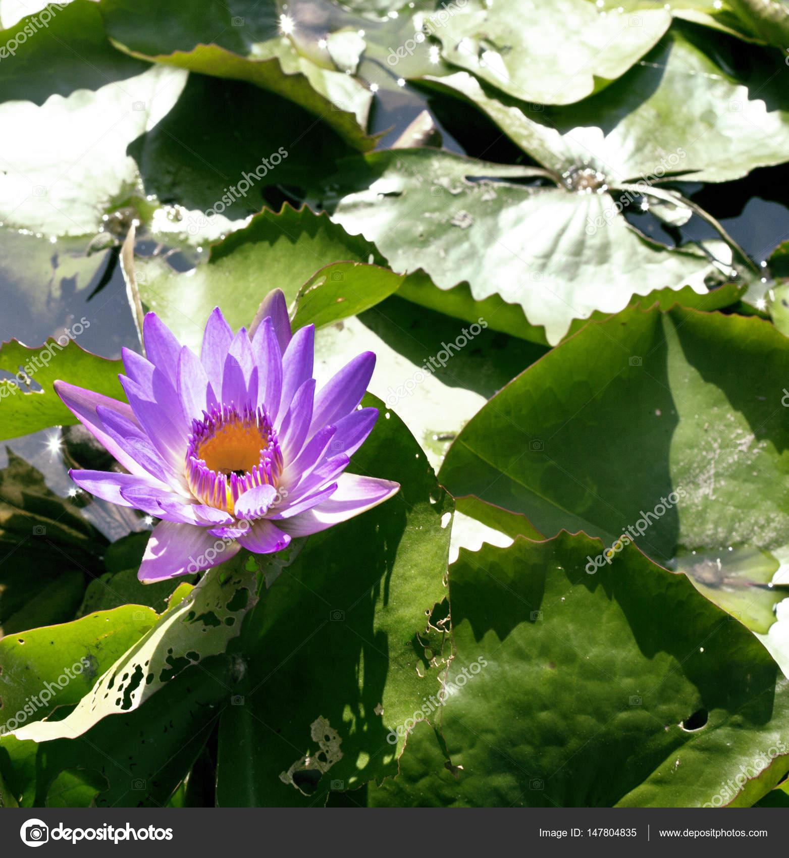 Lake With Lotus Flowers Stock Photo Iordani 147804835